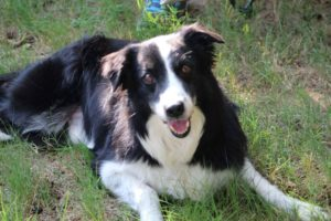 This is a picture of Gus, a Border Collie mix.